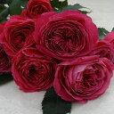 ゆうぜん(大苗予約)7号鉢植え 四季咲き中輪房咲き系 F&Gローズ フローリスト&ガーデナーズローズ