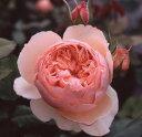 バラ苗:真宙(大苗)7号鉢植え 四季咲き 中輪(シュラブ) ジャパニーズスタイル Japanese Style