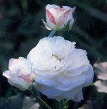 ブール・ドゥ・ネージュ(大苗)7号鉢植え  オールドローズ(アンティークローズ) バラ苗