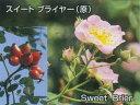 ロサ・エグランテリア(大苗)7号鉢植え  オールドローズ(ア...