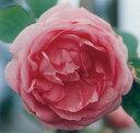 ロサ ケンティフォリア(大苗)7号鉢植え オールドローズ(アンティークローズ) バラ苗