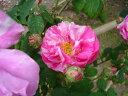 ロサ・ガリカ・ヴェルシコロール(大苗)7号鉢植え  オールドローズ(アンティークローズ) ロサ・ムンディ— バラ苗