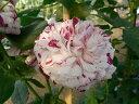 バリエガータ ディ ボローニャ(大苗)7号鉢植え オールドローズ(アンティークローズ) バラ苗