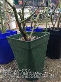 夢紫(大苗)7号鉢植え  四季咲き中輪房咲き系(フロリバンダローズ)スプレー咲き バラ苗