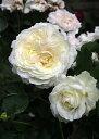 ノース フレグランス (大苗予約)7号鉢植え フロリバンダローズ(四季咲き中輪房咲き系) バラ苗