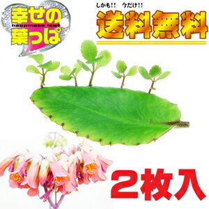 ハカラメ 多肉植物