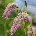 楽天おぎはら植物園サンギソルバ 'ピンク ブラシ'