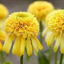 楽天おぎはら植物園エキナセア 'レモン ドロップ'
