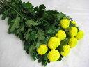リンギク キイロ (ピンポン Gデン など)5本 切花 生け花 花材