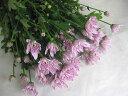 スプレーギクピンク(Pモナリザ(ヤLPなど5本 切花