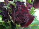 バラ レッド (B バッカラ DRなど)5本 切花 生け花 花材 ドライフラワーに最適