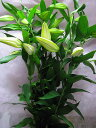 百合(ユリ)の女王 カサブランカ 切り花 フラワー 優品以上 5本 切花