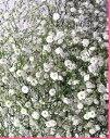 かすみ草1000円分(添え花 フラワー、同梱用) 切花 生け花 花材