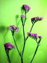 スターチス(フラッシュピンクなど)5本 切花 生け花 花材