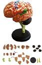 「 脳 模型 32パーツ 分解 モデル 」 人体模型 立体 脳みそ リアル(脳 模型)