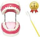 cmy selectt 歯 模型 歯列模型 歯模型 モデル 無段階 開閉式 歯ブラシ セット(歯ブラシセット, 大型)