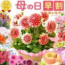 送料無料!母の日ギフト早割2018 プレゼント選べる花とスイーツセット Dset [花]AA