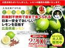 広島県瀬戸田産レモン 防腐剤不使用 良品2kg(約16玉〜20玉)