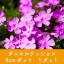 【芝桜】ダニエルクッション 9cmポット 1ポット 高品質 シバザクラ グランドカバー 下草 雑草対策