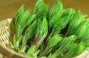 【天然山菜】コシアブラ(こしあぶら) 200g★春の味覚 山の幸 会津産 朝取り採りたて新鮮な 山菜