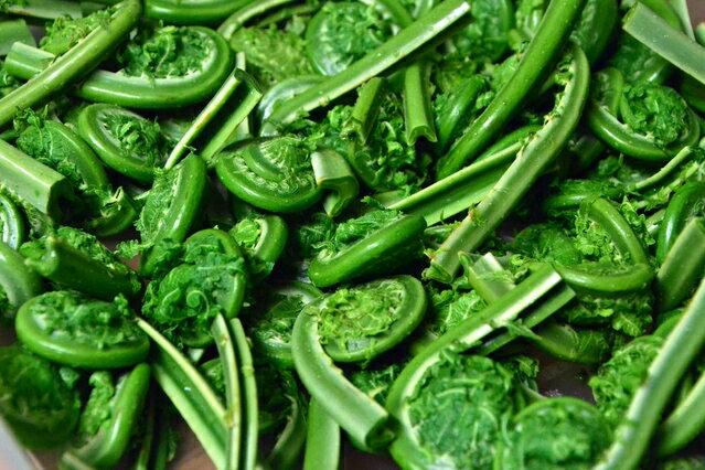 【天然山菜】こごみ 1kg...