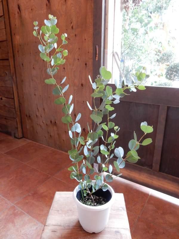 アウトレットセール品、少々小ぶりです。ユーカリ・ウェブステリアナ(ハートリーフ・ユーカリ) 4号鉢 大きく育てて自分流のガーデニングに仕上げて下さい♪植え替え・寄せかご・寄せ植えなどに♪