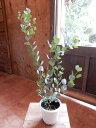 ユーカリ・ウェブステリアナ(ハートリーフ・ユーカリ) 4号鉢 大きく育てて自分流のガーデニングに仕上げて下さい♪植え替え・寄せかご・寄せ植えなどに♪