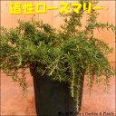『自社生産商品』 這い性ローズマリー 7号鉢植え (硬