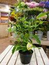 シトラール効果♪レモンマートル 4号ポット(苗) 大きく育てて自分流のガーデニングに仕上げて下さい♪植え替え・寄せかご・寄せ植えなどに♪