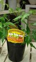楽天癒し空間 One's Garden&Plants【節電対策】ミラクルニームの木 3.5号苗♪自分流に仕上げて下さい♪【害虫対策・防虫効果・虫よけ】完全路地養生済み