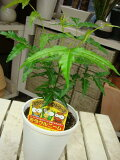約200種類以上の害虫に効果があると言われる 天然植物農薬?ミラクルニームの木?