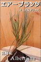 エアープランツ (エアプランツ) 品種名:T.Albetianaマニア系シリーズ コレクションにいかがでしょうかインテリアグリーンに♪『チランジア/チランドシア 』