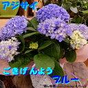 母の日ギフト アジサイ ごきげんよう ブルー 鮮やかな色合い♪5号鉢植え 籐カゴ(バスケット入り)&ラッピングシート&リボン付きのお得セット価格フラワーギフトフリーメッセージ 数量限定 ポイント中 花 送料無料 紫陽花 あじさい 花鉢