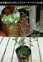 ミクロフィラ ソフォラ プロストラータ リトルベイビー ポット(苗)小さい葉っぱが可愛い♪自分流の室内空間に植え替えして仕上げて下さい♪アジアンチックやモダン風・トロピカル風のインテリア寄せ植えなどにも♪