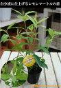 レモンマートルの木 ポット(苗) 大きく育てて自分流のガーデニングに仕上げて下さい♪植え替え・寄せかご・寄せ植えなどに♪シトラール効果♪ストレス解消効果 リラッ...