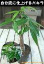楽天癒し空間 One's Garden&Plantsパキラ ポット(苗)自分流の室内空間に植え替えして仕上げて下さい♪アジアンチックやモダン風・トロピカル風のインテリア寄せ植えなどにも♪大きく育てて下さい♪
