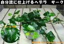 アイビー(ヘデラ) サーク(ハートの形の葉っぱ)ポット(苗)自分流の室内空間に植え替えして仕上げて下さい♪アジアンチックやモダン風・トロピカル風のインテリア寄せ...