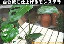 楽天癒し空間 One's Garden&Plantsモンステラ 3号ポット(苗)切れ込みの葉で親しみやすい♪自分流の室内空間に植え替えして仕上げて下さい♪アジアンチックやモダン風・トロピカル風のインテリア寄せ植えなどにも♪大きく育てて下さい♪