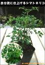 【ミニ観葉植物】インテリアグリーンに仕上げて下さい♪アクセントにも♪シマトネリコ♪ポット(苗)自分流のガーデニングに仕上げて下さい♪インテリアでもお楽しみいただけます♪植え替え・寄せかご・寄せ植えなどに♪大きく育てて下さい♪