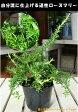 這性ローズマリー 苗(ポット) 大きく育てて下さい♪自分流のガーデニングに仕上げて下さい♪植え替え・寄せかご・寄せ植えなどに♪