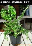 【ハーブ】良い匂いでリラックス♪這性ローズマリー 苗(ポット) 大きく育てて下さい♪自分流のガーデニングに仕上げて下さい♪植え替え・寄せかご・寄せ植えなどに♪