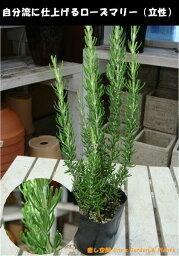 立ち性ローズマリー 苗(ポット) 大きく育てて自分流のガーデニングに仕上げて下さい♪植え替え・寄せかご・寄せ植えなどに♪