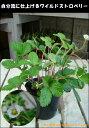 幸せが実る♪ワイルドストロベリー(いちご) ポット(苗) 自分流のガーデニングに仕上げて下さい♪植え替え・寄せかご・寄せ植えなどに♪