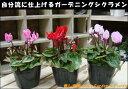 ガーデンシクラメン(ガーデニングシクラメン) 3ポット(苗)お買い得セット販売♪ 自分流のガーデニングに仕上げて下さい♪植え替え・寄せかご・寄せ植えなどに♪