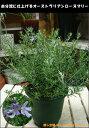 楽天癒し空間 One's Garden&Plantsオーストラリアンローズマリー(ウエストリンジア) 5号鉢 自分流にアレンジしてガーデニングをお楽しみ下さい♪