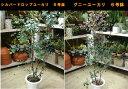 楽天癒し空間 One's Garden&Plants『只今、枝ぶり悪し』ユーカリ 6号鉢(グニーユーカリ・ポプルネア・シルバードロップ・プルブラ・ベイビーブルー・アーチェリー・グラウスセンス)からお選び下さい ご自宅のシンボルツリーに♪思い出の記念樹に♪自分流に仕上げて下さい♪庭植えなどに♪