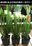 立ち性ローズマリー 3株お買い得セット販売 大きく育てて自分流のガーデニングに仕上げて下さい♪植え替え・寄せかご・寄せ植えなどに♪
