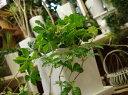 人気の観葉植物♪玄関の下駄箱に飾ればちょっと素敵♪■これから観葉植物を楽しむ方へ♪パーセノシッサスシュガーバイン♪場所取らずでちょこっと置くだけ♪プレゼントや景品にも♪♪モダン風アジアンテイスト♪