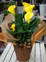母の日 ギフト プレゼント 花 送料無料 カラー鉢植え サマ...