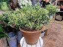 RoomClip商品情報 - アカシア テレサ♪黄色の可愛いお花が咲き乱れます♪テラコッタ陶器鉢に植え替え仕上げ♪【送料無料】【楽ギフ_包装】【楽ギフ_メッセ入力】